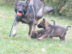 Schäferhund-Welpen mit Mutter
