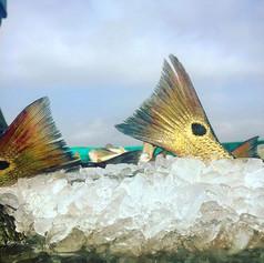 #gulfstatesaquaculture #farmraisedredfish
