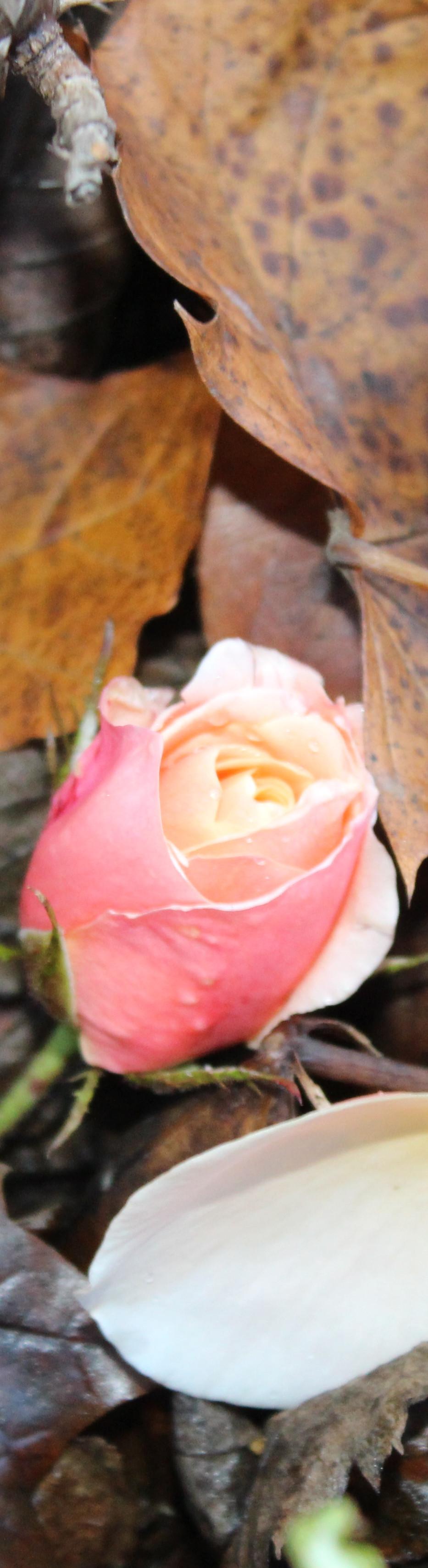 Rose Autumn Leaves