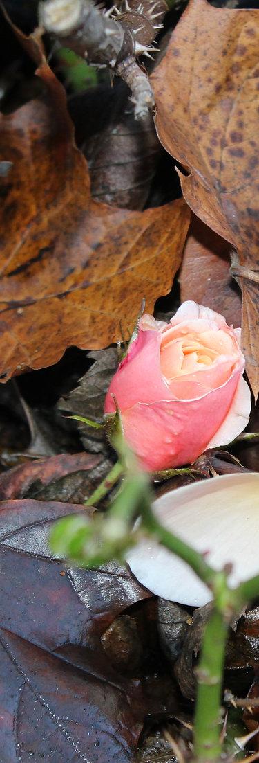 Dundee Rose Autumn