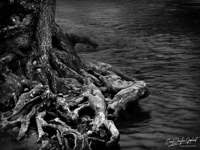 Tree roots by the creek in Boiling Springs, PA