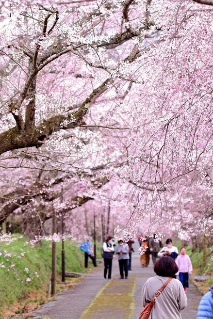 垂れ桜.JPG