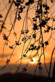 夕日と垂れ桜.jpg