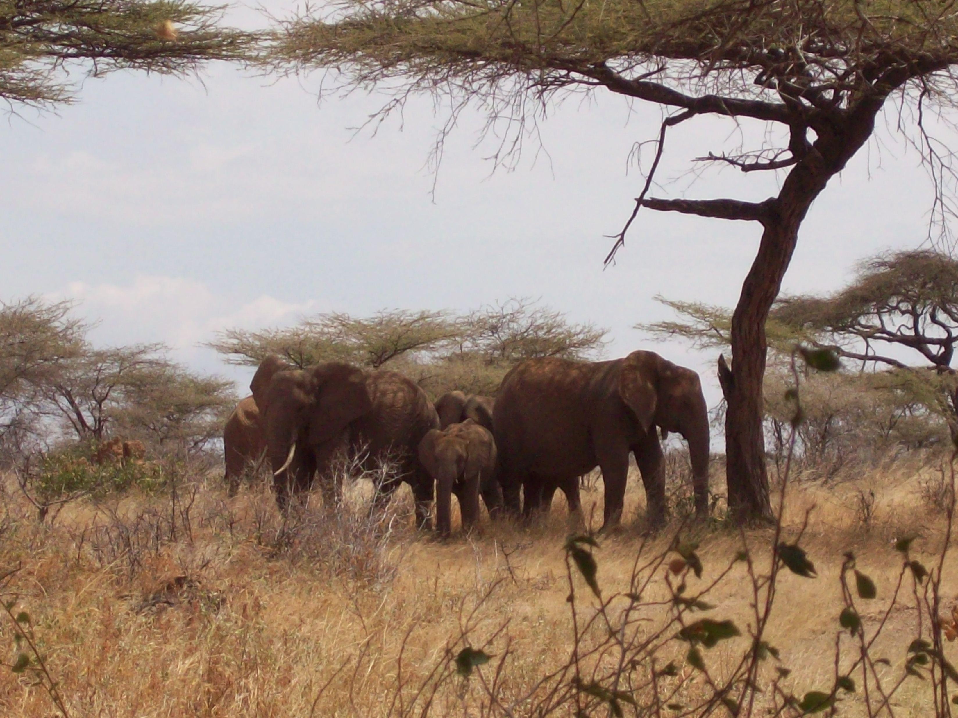 Africa Elephant Herd