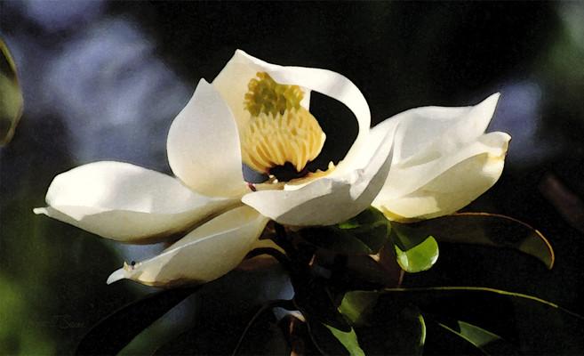 Houston Magnolia Blossom
