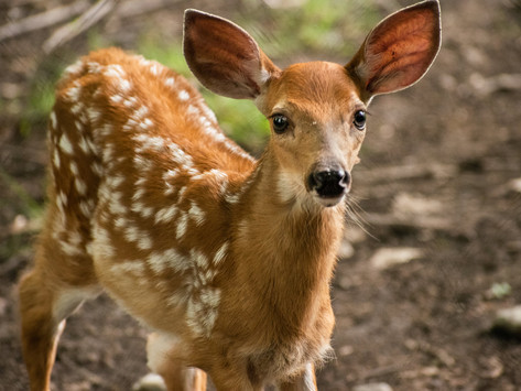 Real-life Bambi: A new addition at the Ecomuseum