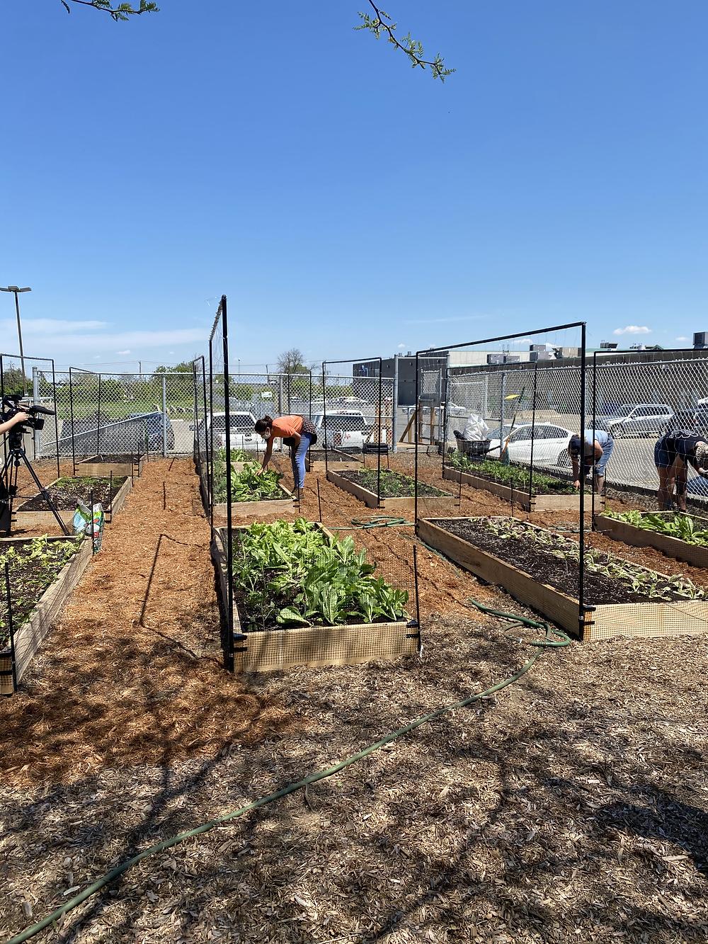 11 garden beds in West Island YMCA's back yard.