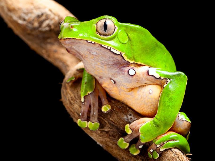 kambo-monkey-tree-frog-phyllomedusa-bico