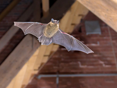 Do I Need To Carry Out A Bat Survey?
