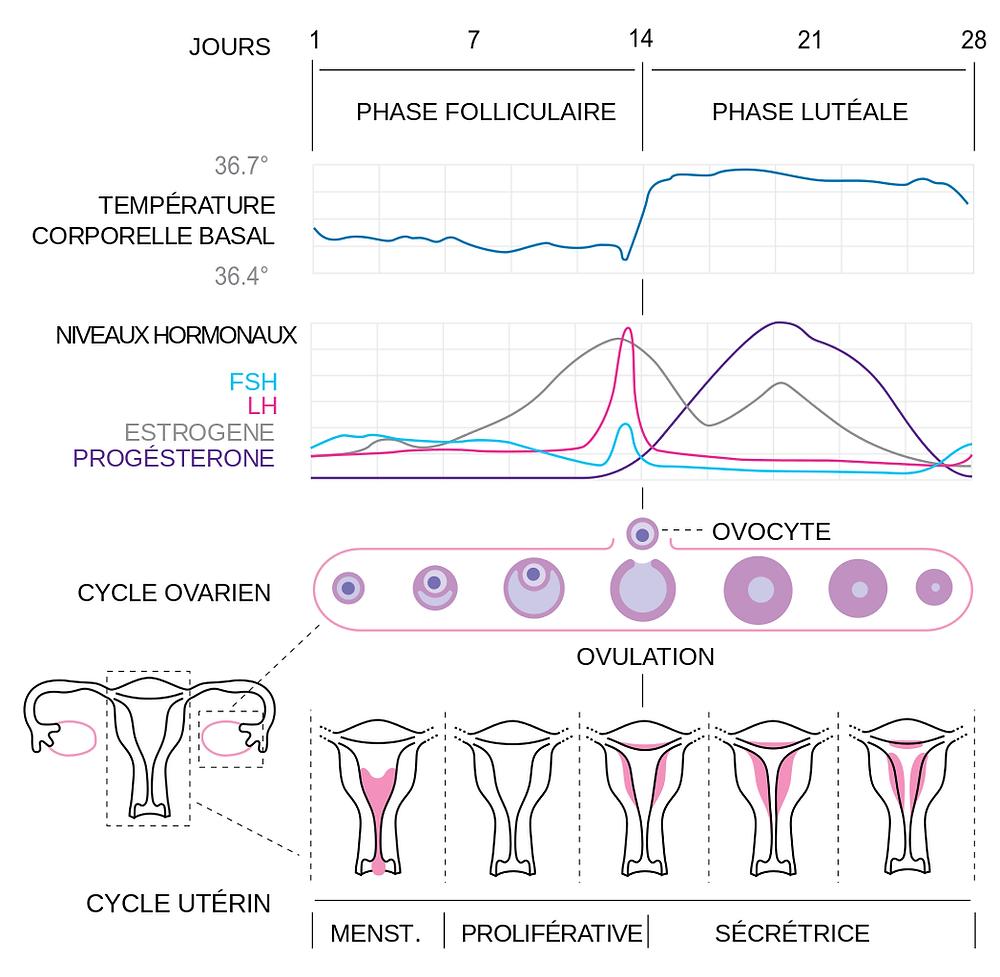 Ce schéma montre un cycle de 28 jours, ce qui ne concernerait que 13% des femmes. Un cycle normal dure entre 23 et 35 jours.