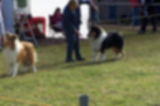 Strathaven collie kennels, collie