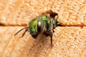 Hoplitis sp. at nest hole in bee hotel | USA, Washington, Tenino | 2018-05-06