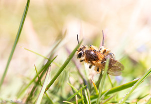 Andrena sp. in lawn | USA, Washington, Tenino | 2015-04-27