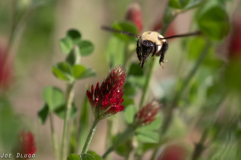 Bombus impatiens, the common eastern bumble bee visiting crimson clover