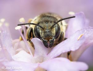 Megachile perihirta (female) | USA, Washington, Tenino | 2018-09-23