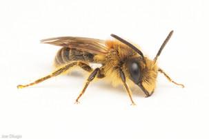 Andrena sp. (male) | USA, Washington, Thurston County | 2021-04-28