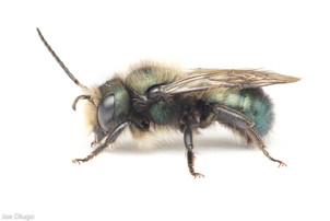 Osmia lignaria (male) | USA, Washington, Thurston County | 2021-04-11
