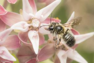 Megachile sp. (male) on Asclepias speciosa | USA, Washington, Thurston County | 2020-06-19
