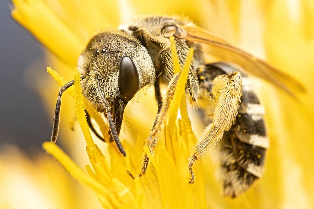 A Halictus ligatus, ligated furrow bee feeds from a rubber rabbitbrush flower