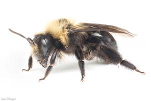 Andrena sp. | USA, Washington, Tenino | 2021-04-09