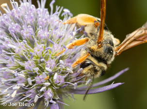 "Andrena prunorum | on Eryngium sp. ""Sea Holly"" | USA-Washington-Tenino | 2018-07-18"