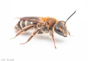 Andrena sp. | USA, Washington, Tenino | 2020-04-11