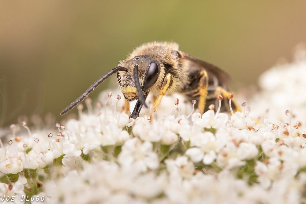 Orange-legged furrow bee male with very long antenna on tiny white flowers