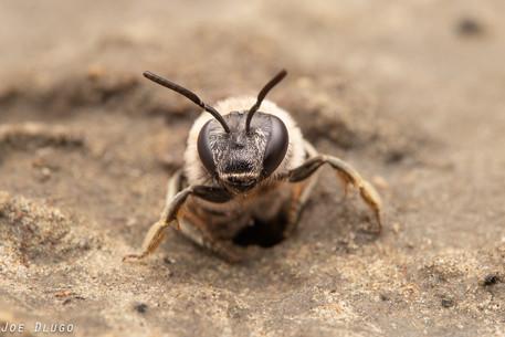"""Nomia melanderi """"alkali bee"""" (female)   at nest burrow   USA, Washington, Touchet   2019-06-21"""