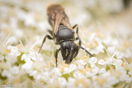Hylaeus sp. on Daucus carota~queen anne's lace | USA, Washington, Tenino | 2020-07-16
