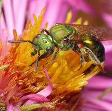 Augochlorini ~ Metallic Green Bees