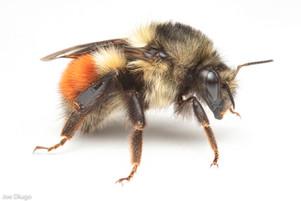 Bombus melanopygus (Queen) | USA, Washington, Thurston County | 2021-03-02
