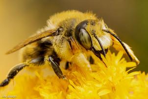Megachile periherta (male) on Solidago canadensis | USA, Washington, Tenino | 2020-08-09