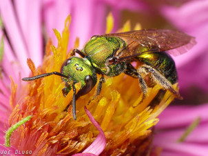 "Augochlorini sp. on Symphyotrichum novae-angliae ""New England Aster"" | USA, Illinois, Western Springs | 2014-09-20"