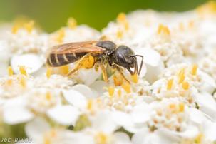 "Halictus sp. on Achillea millefolium ""yarrow"" | USA, New Jersey, New Hope (Bowman's Hill Wildflower Preserve) | 2019-07-06"