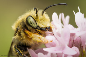 Megachile perihirta (male) on Plectritis congesta | USA, Washington, Thurston County | 2021-06-08