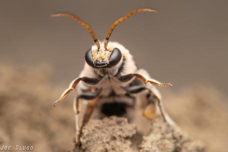 """Nomia melanderi """"alkali bee"""" (male)   USA, Washington, Touchet   2019-06-21"""