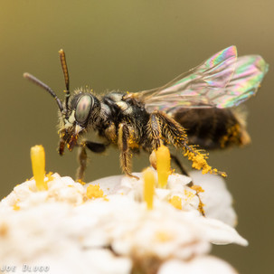 "Perdita sp. on Achillea millefolium ""yarrow"" | USA, Washington, Tenino | 2019-07-18"