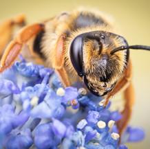 Andrena ~ Mining Bees