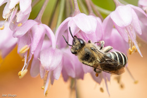 Colletes sp. on Allium cernuum   USA, Washington, Tenino   2020-07-20