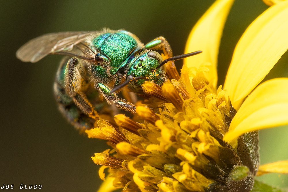 A bright green iridescent bee on a yellow compound flower