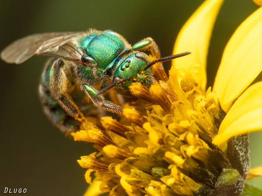 Winter Bees at Lady Bird Johnson Wildflower Center, Texas
