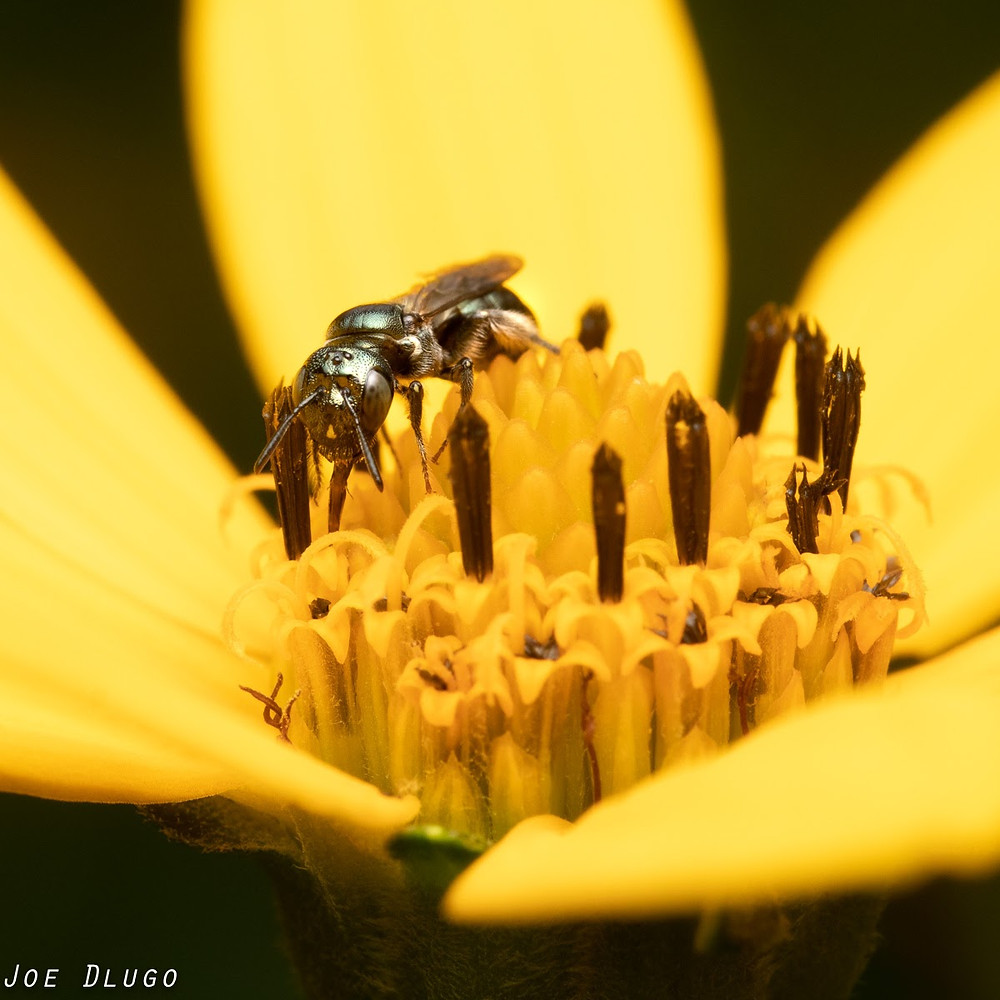 A green, almost hairless small Ceratina bee on the compound florets of a Helianthus flower.