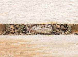 Hoplitis sp. cocoon in bee board | USA, Washington, Tenino | 2018-10