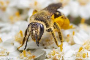 "Andrena sp. on Achillea millefolium ""common yarrow"" | USA, Washington, Fort Simcoe State Park | 2017-05-27"