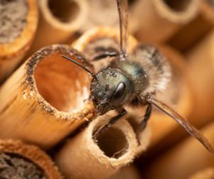 Osmia lignaria (female) at nest tubes | USA, Washington, Tenino | 2018-06-11