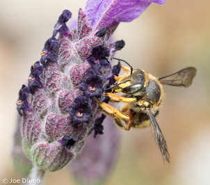 "Anthidium manicatum on Lavandula stoechas ""Spanish lavender"" | USA, Washington, Tenino | 2018-05"