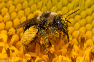 Melissodes sp. on common sunflower   USA, Washington, Tenino   2015-07-11