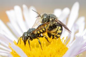 Dianthidium sp. mating | USA, Washington, Tenino | 2020-08-16