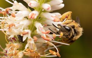 "Halictus sp. on Veronicastrum virginicum ""Culver's Root"" | USA, Washington, Tenino | 2018-07-29"