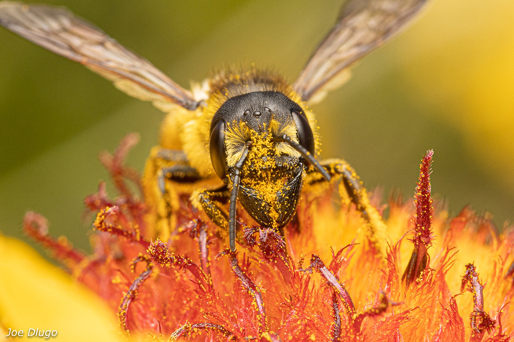 A large leafcutter bee with big mandibles and outspread wings among a red an yellow flower